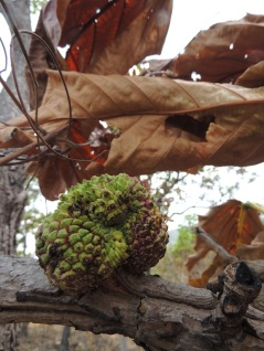 Scorched jackfruit tree
