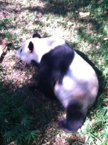 Papa Panda eating an apple.