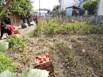 Backyard garden, now full of eggplant