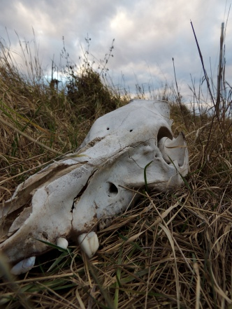 It's not uncommon to find cow skulls randomly laying around in fields