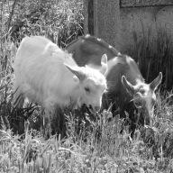 More goat portraits!