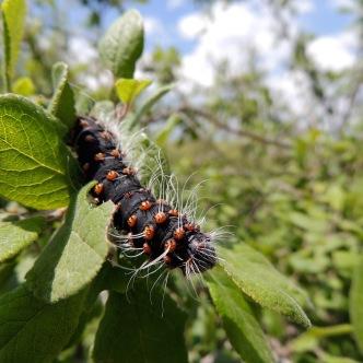 HUGE caterpillar
