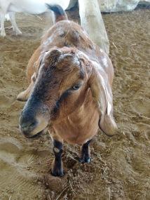 Mama Goat