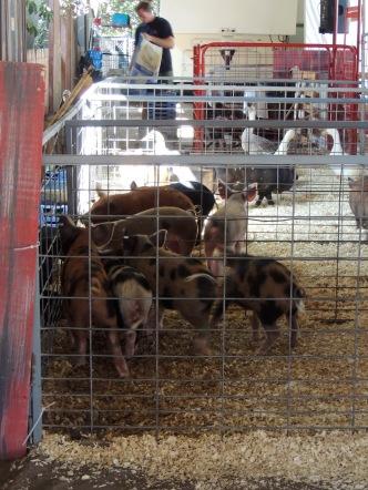Pig race!