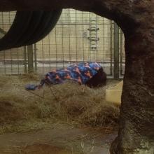 Orangutan in a lobster blanket!
